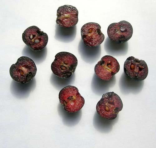 블랙초크베리 열매 속모습