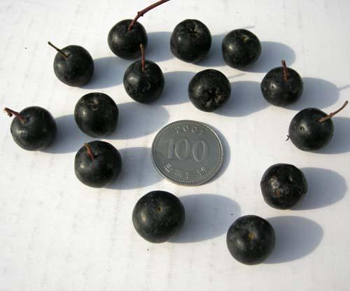 블랙초크베리 열매모습(동전과비교)