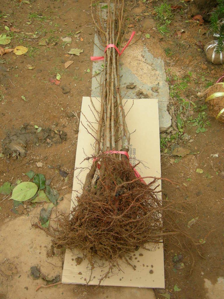 접목1년특묘의 뿌리모습