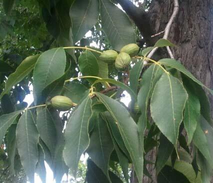 페칸 열매