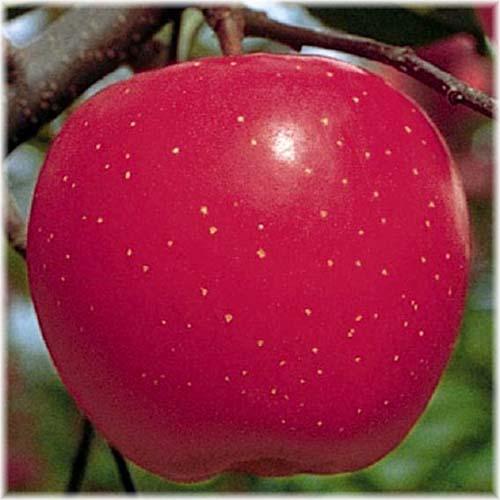 챔피온 후지 열매