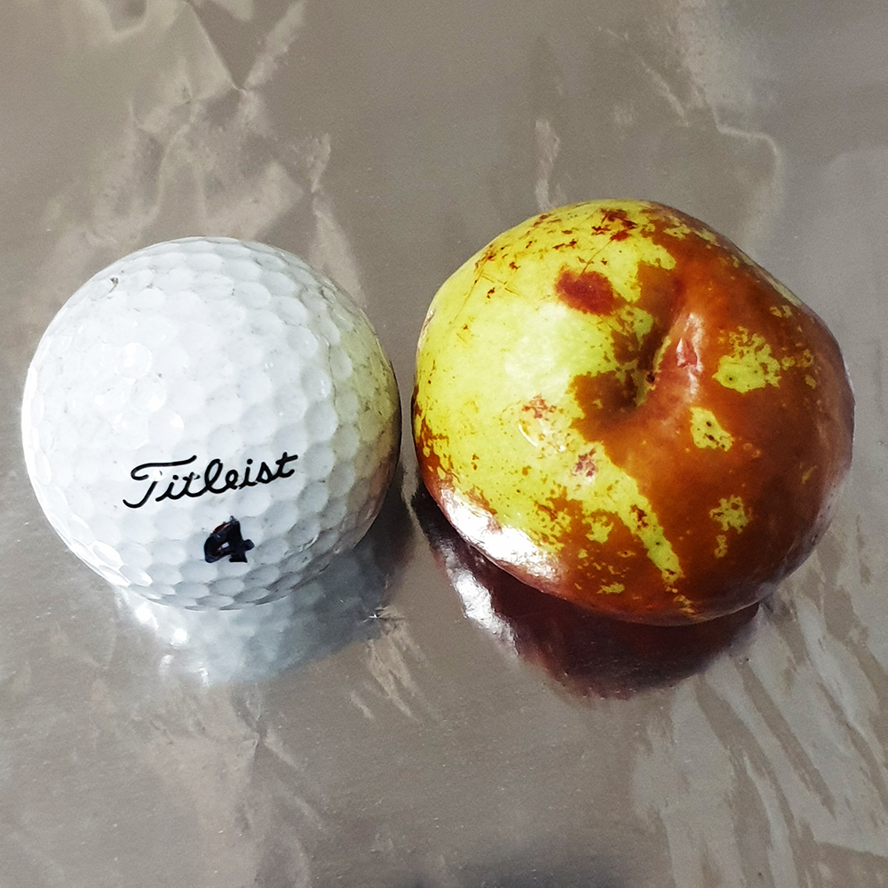 사과대추 골프공과 비교사진