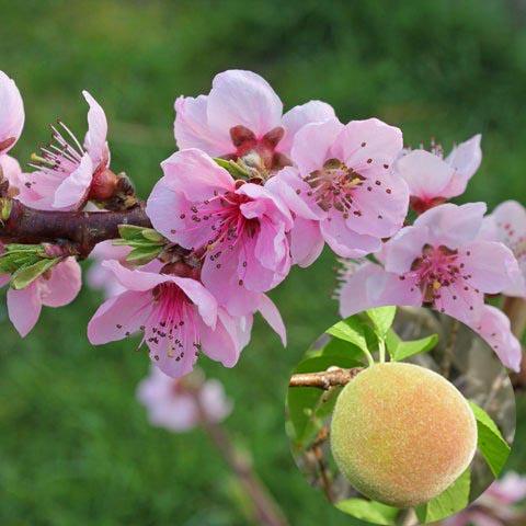 개복숭아꽃과 열매