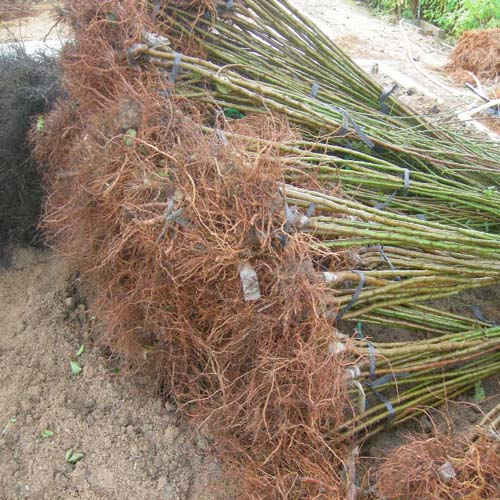접목1년생 뿌리모습