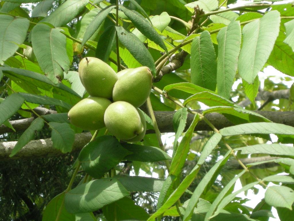 가래나무 열매