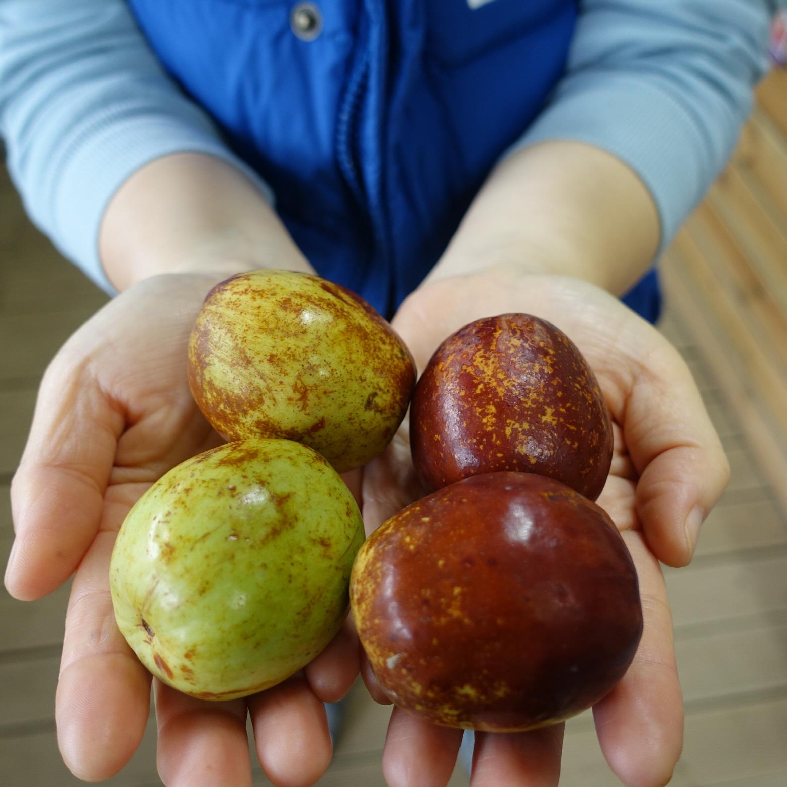 대추(대왕) 열매 모습