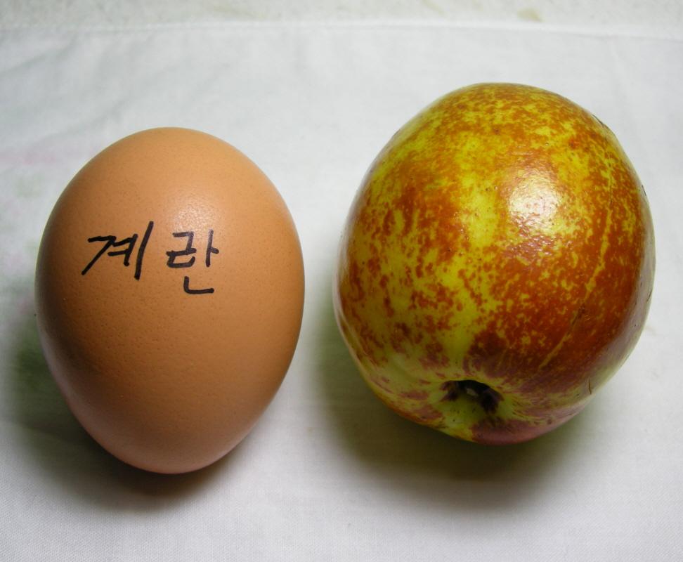 대추(대왕) 열매 비교모습