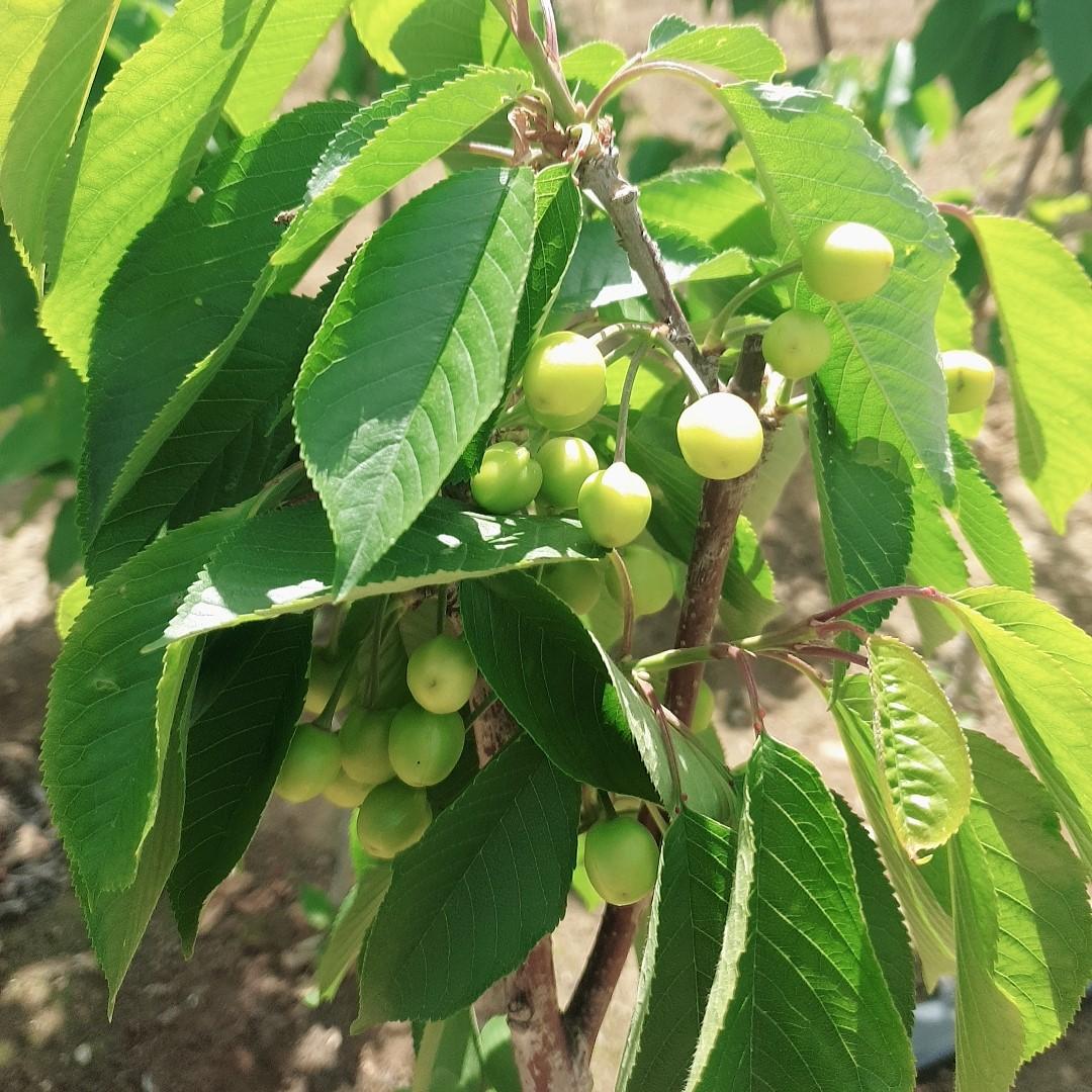 라핀결실주(분) 열매모습