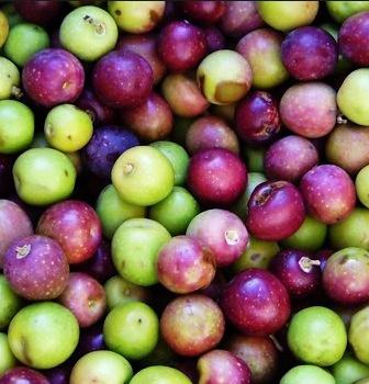 아르베키나 열매모습