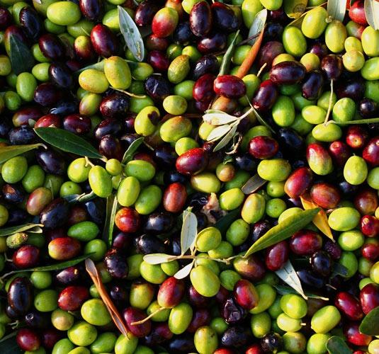 호지블랑카 열매모습
