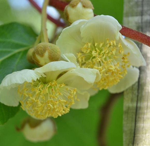 제니키위 꽃