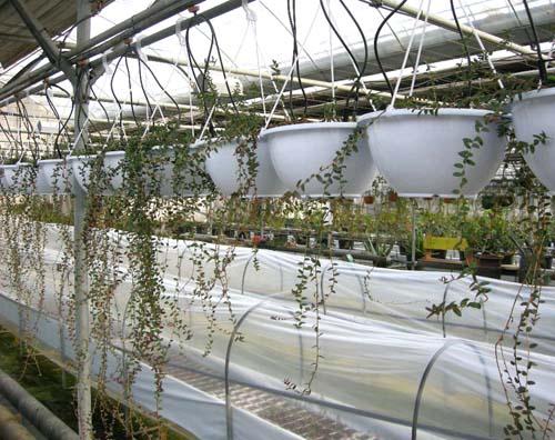 크린베리 재배농장 생육모습