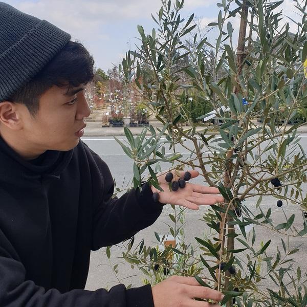 올리브나무와 열매