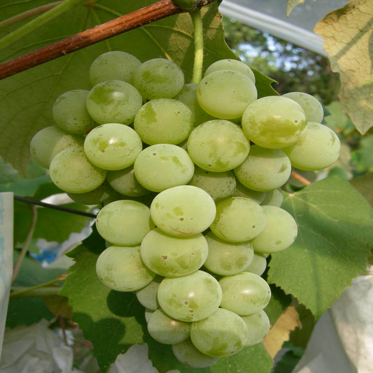 세네카 열매 모습