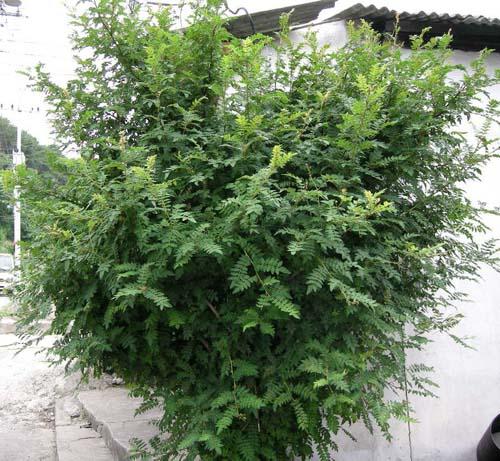 초피나무 모습