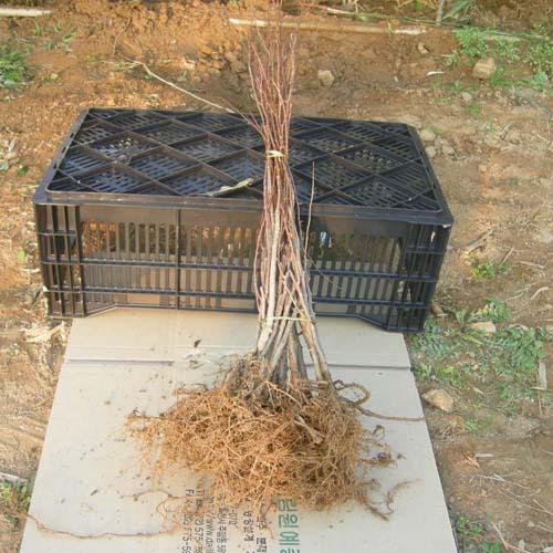 2년생 뿌리모습