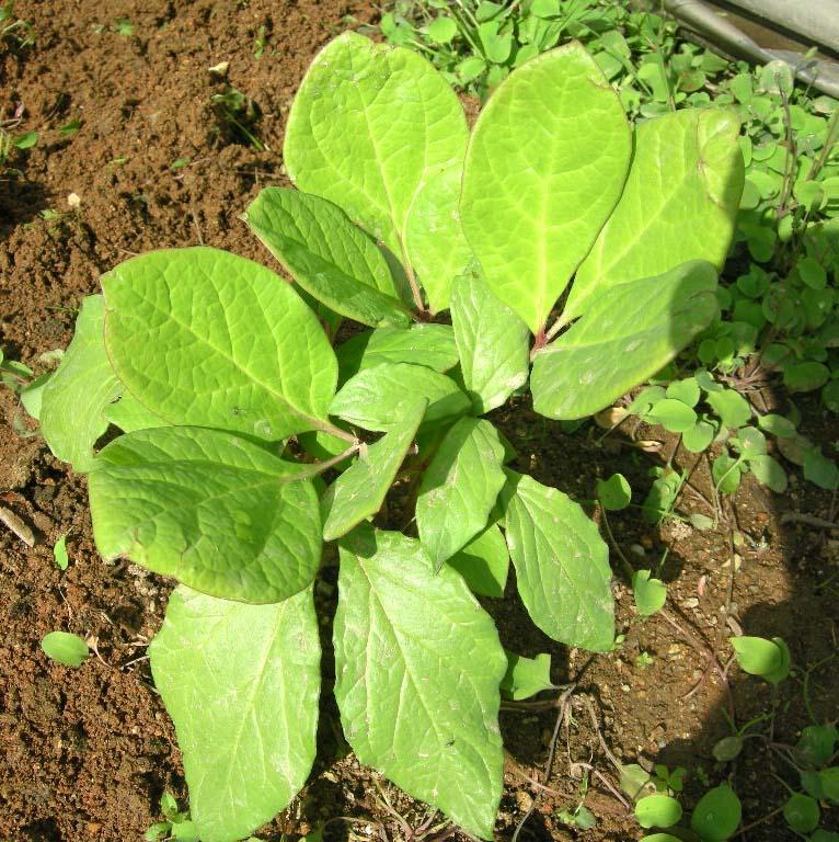 산작약 잎 모습
