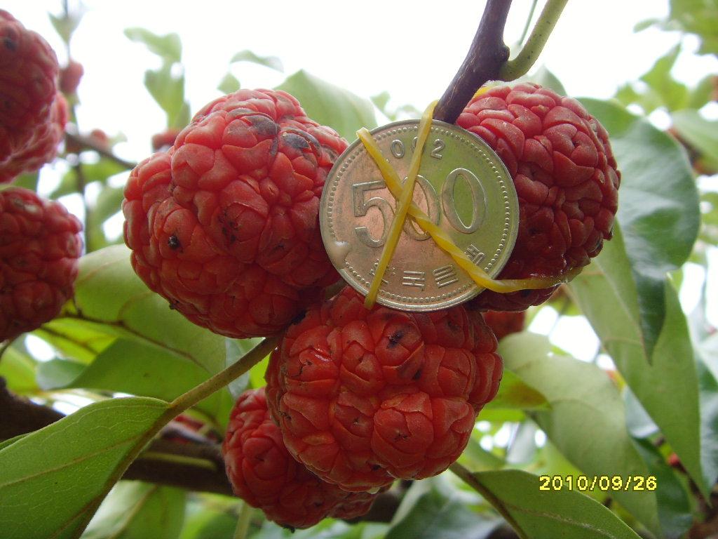 열매 비교 모습
