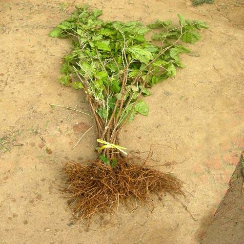 오갈피 2년생뿌리 발육모습