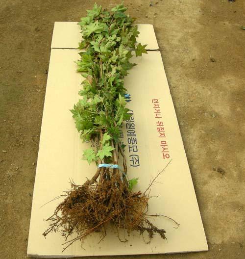 1-2묘 가을굴취 뿌리모습