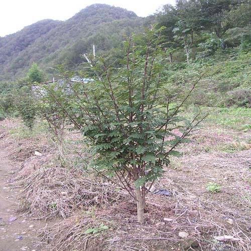 초피나무 정식모습