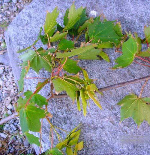 잎과 열매모습