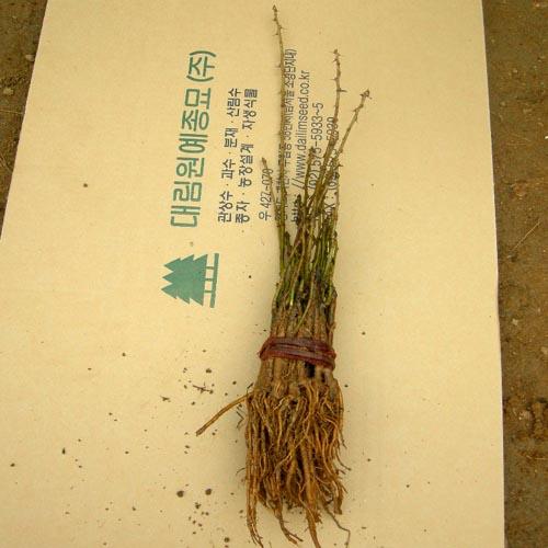 무늬오갈피 묘목뿌리모습