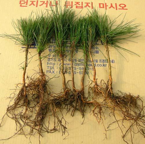 1-1묘의 뿌리모습