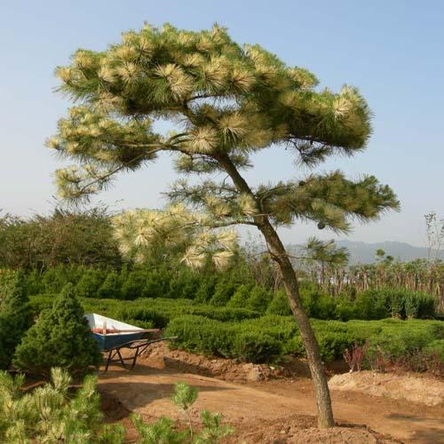 제일황금소나무(사피송) 성목모습(여름)