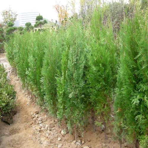 측백나무 키150cm