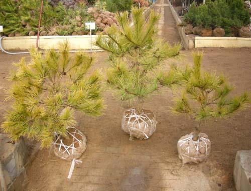 황금소나무(분) 모습