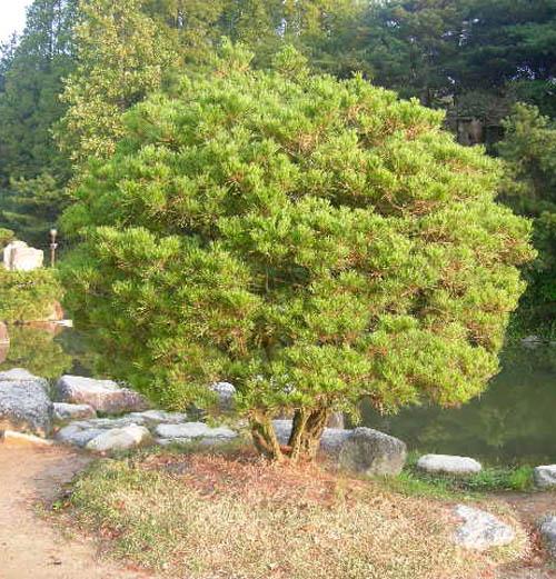 합식소나무 공원 식재모습