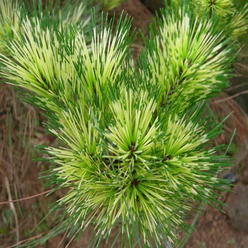 제일황금소나무(사피송) 잎모습