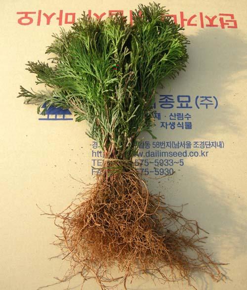 삽목묘 뿌리모습