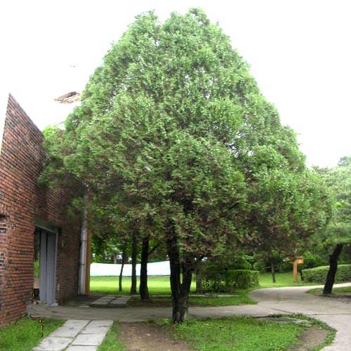 측백나무 성목