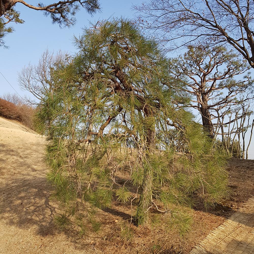 수양소나무