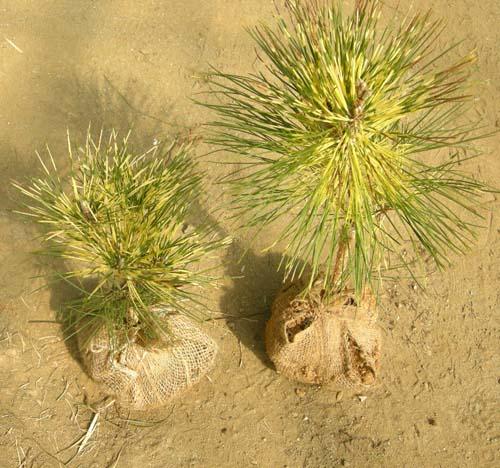 제일황금소나무(사피송) (분) 모습