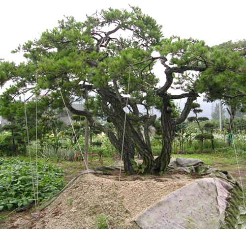 합식소나무(특수목)