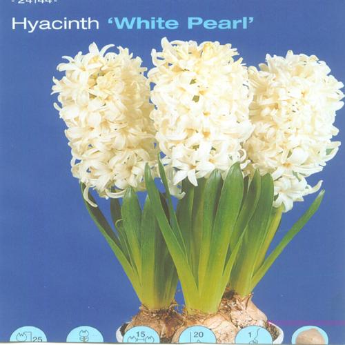 히야신스 흰색계