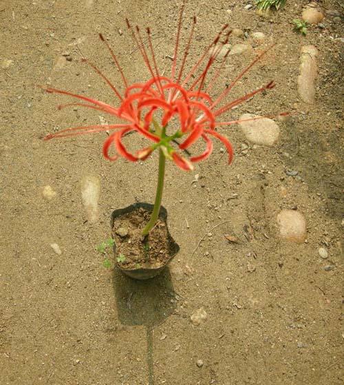 석산(꽃무릇) 포트에서 개화모습