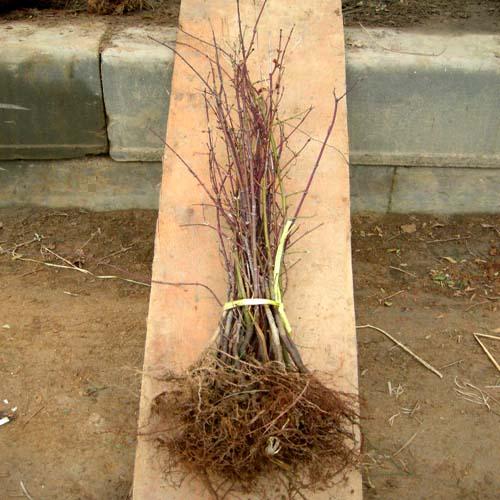 2년생뿌리모습