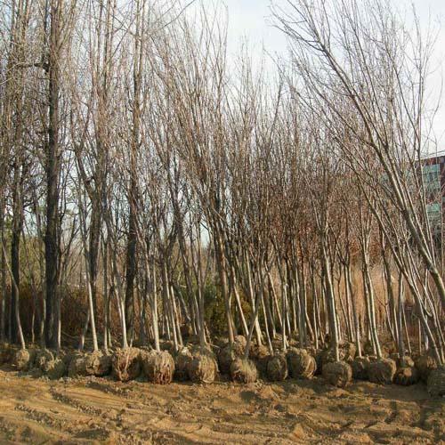 왕벚나무 B4cm