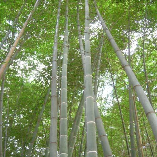 대나무 수목원 식재모습(줄기)