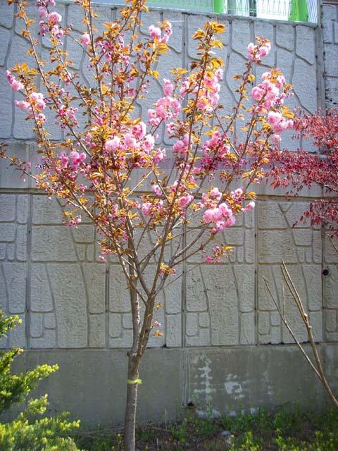 겹벚 아파트정원에 식재모습