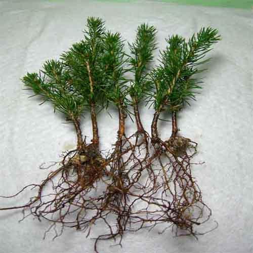 삽목 2년생 뿌리발육 모습