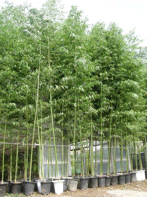 청죽 화분식재 (키4~5m)