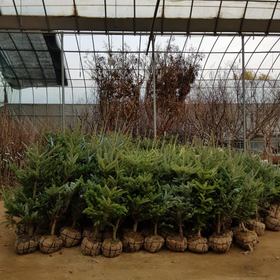 구상나무 1.2~1.5m입고모습