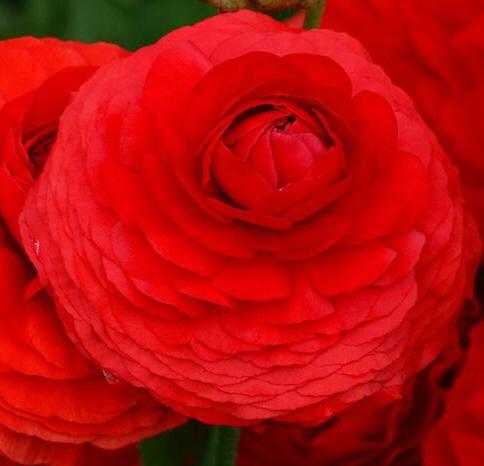 엘레강스 로소(빨강)