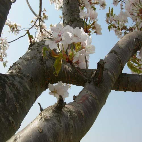 산벚 줄기모습