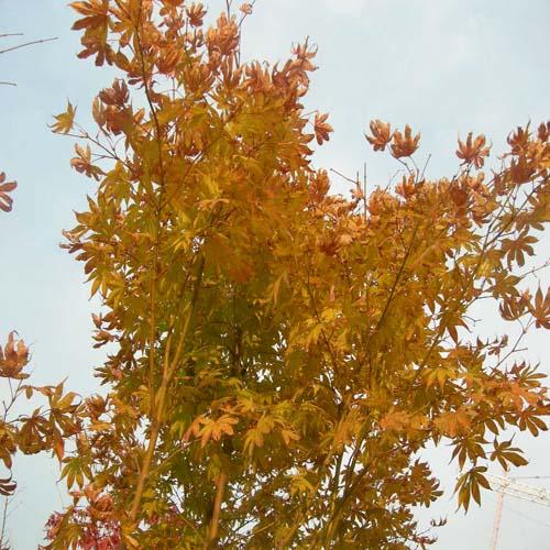 청단풍의 가을단풍모습